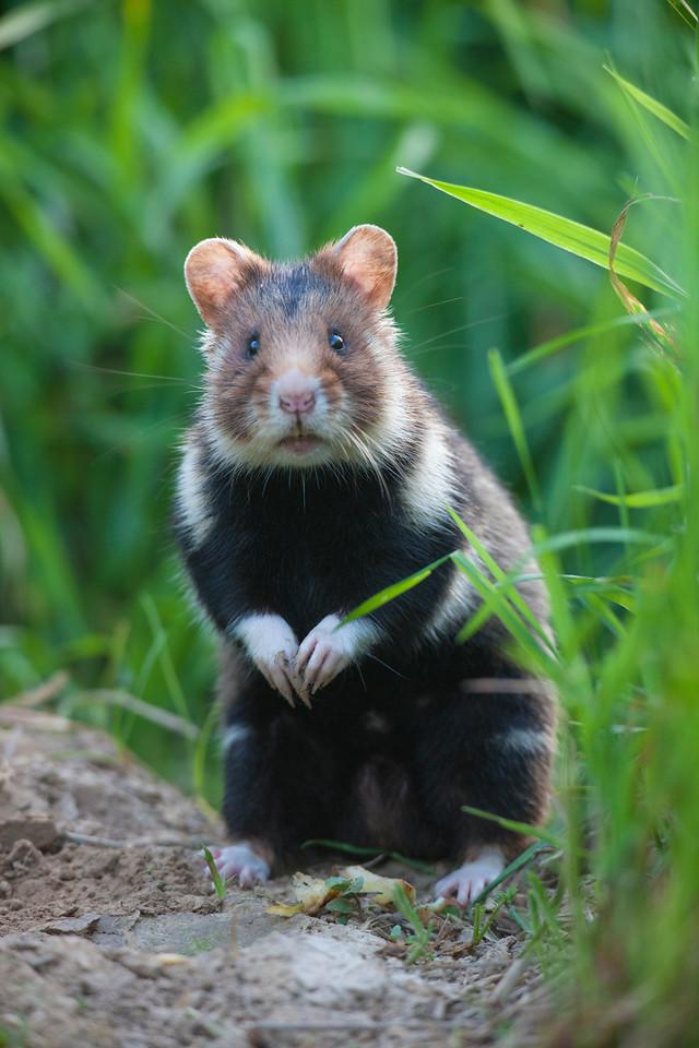 Hamster / Chomik europejski