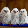 Baby Tawny Owls hatched on April 8 2015 that have had their nails painted to identify them at Small Breeds Farm Park and Owl Centre, Herefordshire, April 23 2015