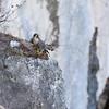Faucon pèlerin, rapace discret