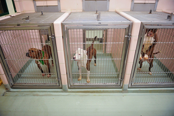 85 percent of the kennel's capacity are pit bulls, most of which are unadoptable, at the Animal Welfare League in Chicago Ridge. Tuesday, Nov. 12, 2019, in Chicago Ridge. (Gary Middendorf-Daily Southtown)
