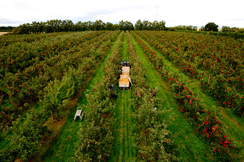 Little Peterstow Orchards which is part of a cooperative group of farms owned by Wye Fruit, Ross on Wye, September 18 2015.