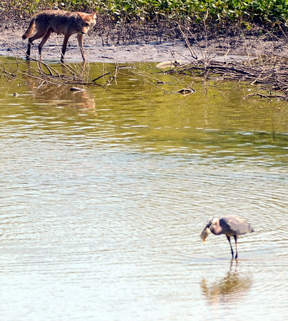 Tribune-Star file/Jim Avelis<br /> Meal time: A female coyote stalks the edge of a pool in the Wabashiki Fish and Wildlife Area just east of Dewey Point Wednesday June 6, 2012. In the foreground, a Great Blue Heron tries to down its catch.