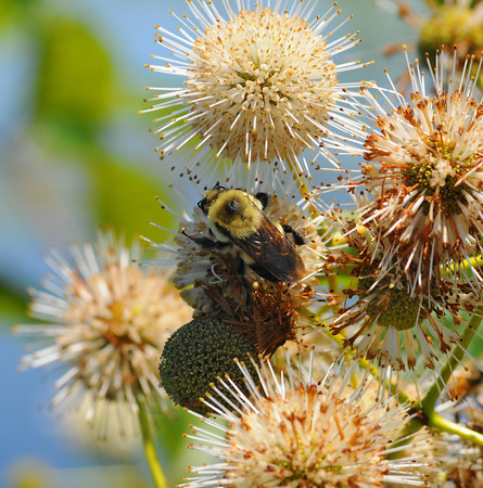 Tribune-Star file/ Jim Avelis<br /> Pollenator: A bee searches for nectar on a blooming bush in the Wabashiki Wetlands Saturday June 19, 2012.