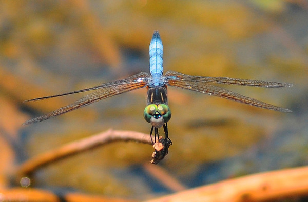 Tribune-Star file/Jim Avelis<br /> Dashing: A Blue Dasher dragonfly rests on a dead twig over the swollen waters of the Wabashiki Wetlands June 19, 2012.