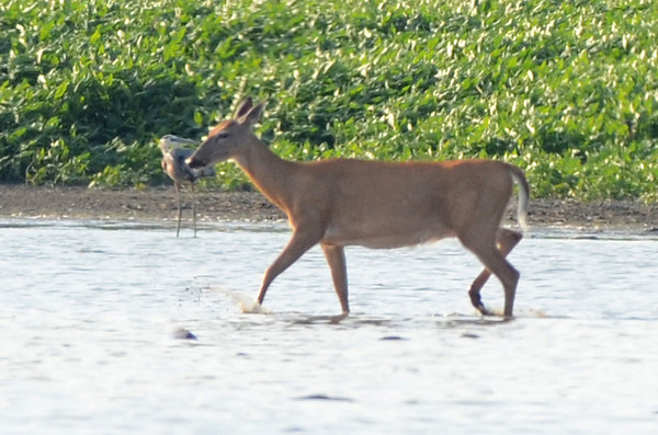 Tribune-Star file/Jim Avelis<br /> Room to roam: A doe whitetail deer shares the waters of the Wabashiki Wetlands near Terre Haute in the drought summer of 2012.