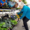 John P. Cleary | The Herald Bulletin<br /> Kay Anderson of Ousley's Harvest Gardens in Alexandria puts a large pot of pansies in the greenhouse Monday afternoon to protect them from the overnight temperatures that will reach the mid-20s.  Gardening experts advise for local gardeners to cover their flowers and plants with sheets or towels to help protect them from the cold or it their in pots to bring them inside for warmth.