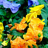 John P. Cleary | The Herald Bulletin<br /> Gardening experts advise for local gardeners to cover their flowers and plants with sheets or towels to help protect them from the cold or it their in pots to bring them inside for warmth.