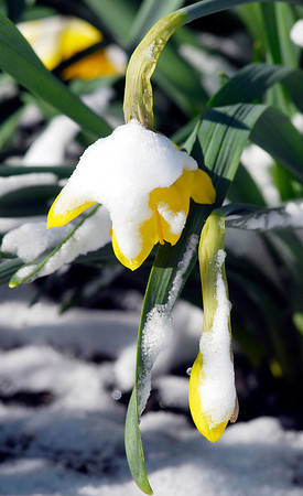 John P. Cleary | The Herald Bulletin<br /> Below freezing temperatures and a light covering of snow early Tuesday morning did these daffodils in after the warm spring-like weather from the past weekend help bring out the spring flowers.