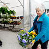 John P. Cleary | The Herald Bulletin<br /> Kay Anderson of Ousley's Harvest Gardens in Alexandria carries a large pot of pansies into the greenhouse Monday afternoon to protect them from the overnight temperatures that will reach the mid-20s.  Gardening experts advise for local gardeners to cover their flowers and plants with sheets or towels to help protect them from the cold or it their in pots to bring them inside for warmth.