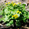 Don Knight | The Herald Bulletin<br /> Marsh marigold in bloom at Mounds State Park on Saturday. The plant grows in ground water seepages at the park.