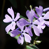 Don Knight   The Herald Bulletin<br /> Wild blue phlox blooms along a trail in Mounds State Park on Monday. Botanist Kevin Tungesvick will lead a two-hour interpretive hike about spring wildflowers in the park this Saturday starting at 1 p.m.