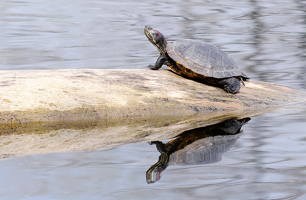 Don Knight | The Herald Bulletin<br /> A Turtle rests on a log while basking in the sun at Shadyside on Friday. The weather forecast for the weekend calls for 80 degrees with a chance for a storm today and a high in the 70s with a better chance of storms on Sunday.