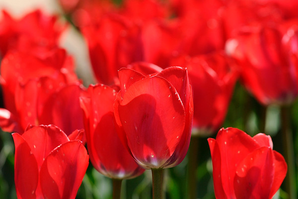 Don Knight   The Herald Bulletin<br /> Better late than never<br /> Tulips bloom creating a carpet of red at Falls Park in Pendleton on Friday.