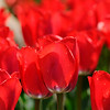 Don Knight | The Herald Bulletin<br /> Better late than never<br /> Tulips bloom creating a carpet of red at Falls Park in Pendleton on Friday.