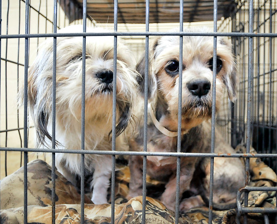John P. Cleary | The Herald Bulletin  <br /> These are two of the 19 dogs that the Animal Protection league took in over the weekend from an animal hoarding case in Alexandria.