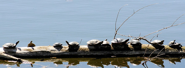 Don Knight | The Herald Bulletin<br /> Turtles sunbathe on a log floating in Shadyside lake on Tuesday. The forecast for the week is calling for a roller coaster ride with a high temperatures stretching from the 50s back into the 70s.