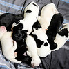 Don Knight | The Herald Bulletin<br /> Week old lab mix puppies at the Madison County Humane Society on Thursday.