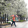 John P. Cleary | The Herald Bulletin <br /> Umbrellas were the order of the day as students walked through the Anderson University campus in a constant rain Thursday afternoon.