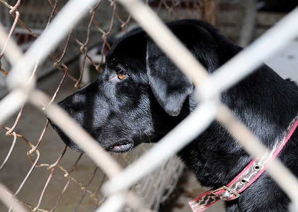 Don Knight | The Herald Bulletin<br /> Zeus, a lab mix, looks out of his kennel at the  Madison County Humane Society on Thursday. Zeus' owner got him on Craigslist but he was taken to the shelter when he didn't get along with her kids.
