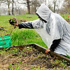 Don Knight | The Herald Bulletin<br /> Jerald White pulls weeds at the Impact Center as the Sweet 16 garden group prepares for the growing season.