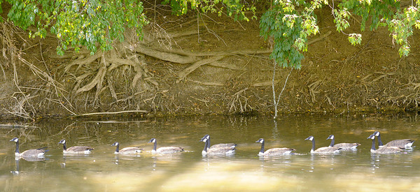 Follow the leader<br /> A gaggle of geese swim up stream in a single file line along the banks of the White River on Wednesday.