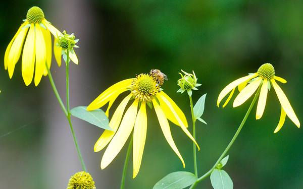 Don Knight/The Herald Bulletin<br /> A bee collects pollen from flowers along the banks of the White River at Mounds State Park on Thursday.