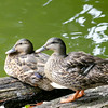 Don Knight | The Herald Bulletin<br /> Two ducks rest on a log floating in the lake at Shadyside park on Wednesday. Rain is forecast to return for the weekend.