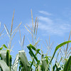 Don Knight | The Herald Bulletin<br /> Corn grows in a field in sourthern Madison county. Indiana farmers are expected to have a bumper crop of corn and soybeans this year.