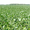 Don Knight | The Herald Bulletin<br /> Soybeans grow in a field in sourthern Madison county. Indiana farmers are expected to have a bumper crop of corn and soybeans this year.