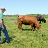 Don Knight | The Herald Bulletin<br /> Brian Shuter of Shuter Sunset Farms Inc. checks on his herd on Wednesday. Beef prices are at an all time high right now.