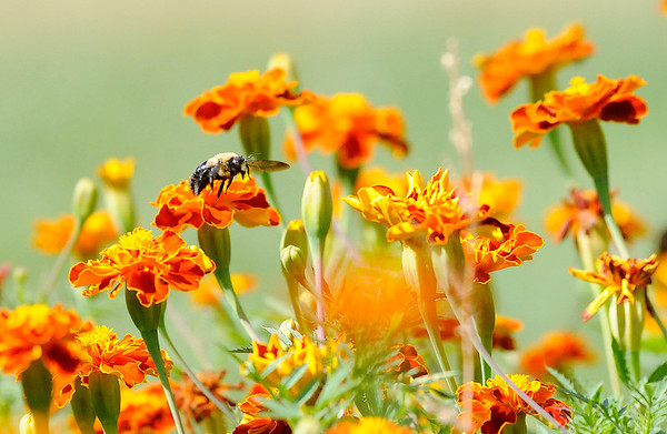 Don Knight | The Herald Bulletin<br /> A bummblebee feeds on the nectar of marigold blooms at Shadyside Park on Tuesday.