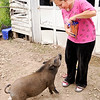 Don Knight | The Herald Bulletin<br /> Lily Harsh gives a carrot to her to her pet pig Yoshi on Tuesday. The pigs now weigh between 65 and 70 pounds, are litter box trained and have access to a fenced in backyard. Any waste is placed in a compost pile.