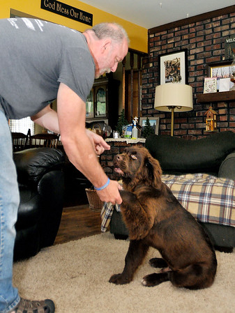 John P. Cleary | The Herald Bulletin<br /> Skip Ockomon works with his four month old Newfoundland dog, Herbie, on shaking hands.