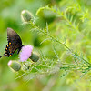 Don Knight | The Herald Bulletin<br /> A butterfly feeds on nectar from a thistle along the cross country course at Lapel during the 2018 Aaron L Stephenson Memorial Cross Country Invitational on Tuesday.