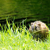 Don Knight | The Herald Bulletin<br /> A muskrat sits on the banks of Stanley Ditch near the tenth green at Meadowbrook Golf Course on Friday.