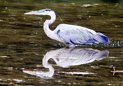 John P. Cleary | The Herald Bulletin Blue heron hunting fish at Shadyside Lake.