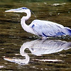 John P. Cleary | The Herald Bulletin<br /> Blue heron hunting fish at Shadyside Lake.