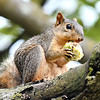 John P. Cleary | The Herald Bulletin<br /> This squirrel enjoys this large hickory nut Tuesday afternoon while perched high above the valley on the Anderson University campus in the hickory tree that supplied his lunch.