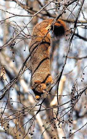 This squirrel hangs precariously upside down from these tiny braches to reach his reward, the berries of this tree at Shadyside Lake.