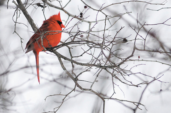 A cardinal perches in a tree next to the walking trail at Shadyside park as a fresh blanket of snow covered Anderson on Saturday.