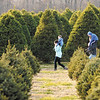 A family walks through fields of Christmas trees looking for one to cut down at Piney Acres on Saturday December 1, 2012.