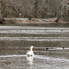 THB photo/John P. Cleary<br /> The Shadyside Lake swan keeps the ducks away at a safe distance as it stakes its territory on the north side of the lake.