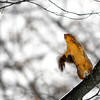 THB photo/John P. Cleary<br /> The snow starts to come off the fur of this squirrel as he makes a leap up to a higher branch of this tree in Shadyside Park Monday afternoon.