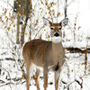 THB photo/John P. Cleary<br /> This deer stops and looks up as it was foraging for food in the snow along trail 5 in Mounds State Park.