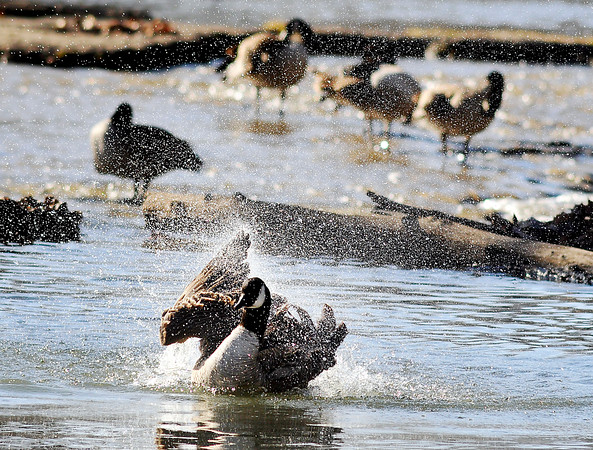 John P. Cleary    The Herald Bulletin<br /> As fellow flock members roost on the rocks in the shallow waters of Fall Creek this Canada goose splashes around in the water kicking up a spray in the afternoon sunshine in Falls Park in Pendleton.