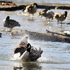 John P. Cleary |  The Herald Bulletin<br /> As fellow flock members roost on the rocks in the shallow waters of Fall Creek this Canada goose splashes around in the water kicking up a spray in the afternoon sunshine in Falls Park in Pendleton.