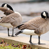 Don Knight | The Herald Bulletin<br /> Canada geese stand on a retention wall next to Fall Creek in Falls Park on Saturday.