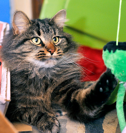 John P. Cleary |  The Herald Bulletin<br /> Jesse reaches out to swat a toy as Jeffery Eckelbarger, 10, plays with the cat.