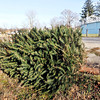 John P. Cleary |  The Herald Bulletin<br /> This Christmas tree is at Athletic Park, one of the drop-off spots for citizens to dispose of their live trees after the holidays. The city's yard and gardening recycling center at 2000 West 8th Street is the other location for tree recycling.