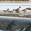 John P. Cleary |  The Herald Bulletin<br /> These Canada geese gather around the open water of Killbuck Creek near the spillway as the cold temperatures start to freeze over the water in the Killbuck Wetlands Tuesday.